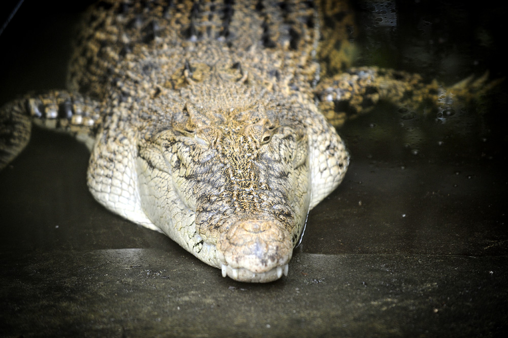 Vår siste dag i Kuching besøkte vi Semengoh oranguntangsenter. Der hadde de visst en krokodille også.