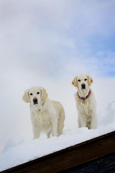 Goldie og Thea koser seg på hyttetaket.
