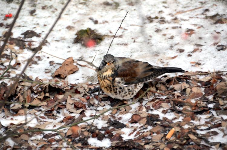 Oslo 12.01.2013.Fugl i busker i waldemars thranes gate.FOTO: JOAKIM S. ENGER