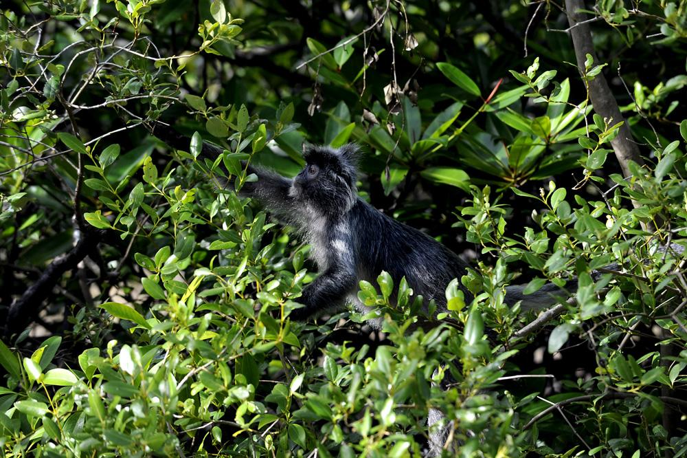 Silverleaf monkey.