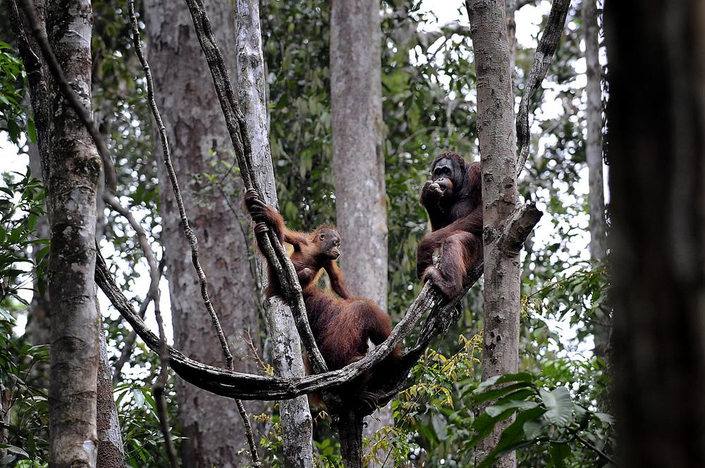 Orang utan = folket fra skogen. Orangutangfamilie.