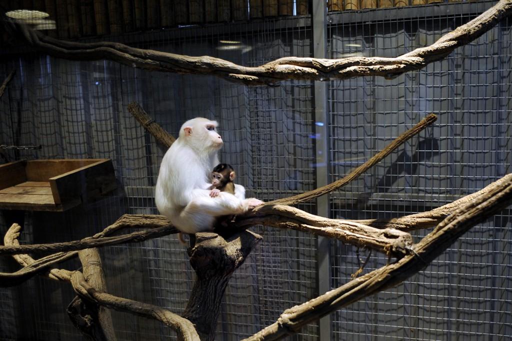 En albina ape av et eller annet slag har fått en baby. Den er 2 mnd gammal. Denne skjeldne albino apa og familien dens skal visstnok leve i skogen på Borneo. Så kanskje vi får oppleve den i sitt rette element.