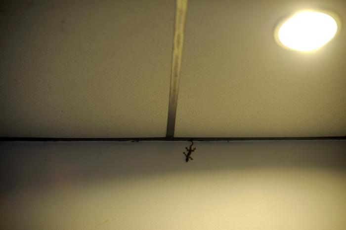 Vår nye venn på hotellrommet i Marudi.